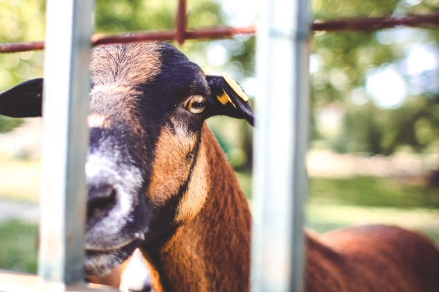 goat-looking-over-the-fence-picjumbo-com